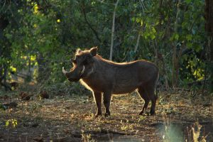 Families of warthog spent a fair bit of time around our airstrips once we got out bush.
