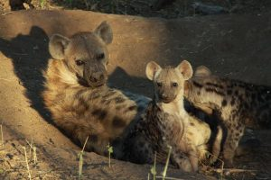 Family of spotted hyenas - we wanted to bring the little cubs home.