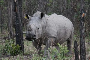 Gentle until threatened, this giant of the veld, the White Rhino remains the target of poachers even today.