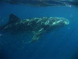 Gentle giant, Ningaloo's juvenile whaleshark