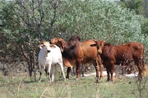 Home Valley is a working cattle station with a strong Brahman breeding programme