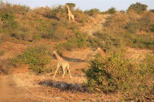 Peak hour on Giraffe Hill