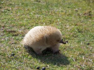 Flinders Island resident, Mr Echidna, chills out in his little anteater world