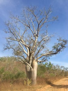 The beautiful Boab - another iconic Top End resident.