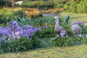 You're sharing the home of a great many Cape Barren geese.